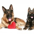 German shepherd dogs with red Valentine heart — Stock Photo #4952444