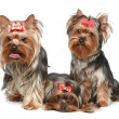 Yorkshire Terrier puppies on a white background - Stock Photo
