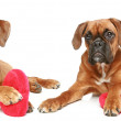 German boxer puppies, lie with a red valentine heart — Stock Photo #4952464