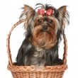 Yorkshire Terrier with red bow in basket - Stock Photo
