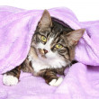 Lazy cat is covered with a blanket — Stock Photo