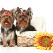 Stock Photo: Yorkshire Terrier Puppies with wattled basket on a white