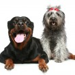 Rottweiler and gray, mongrel dog relax — Stock Photo