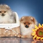 Spitz Puppies in wicker basket — Stock Photo
