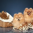Two Spitz funny puppies with wicker basket — Stock Photo
