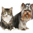 Stock Photo: Striped kitten and yorkshire terrier