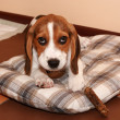 Beagle puppy lying on a dog bedding — Foto de Stock