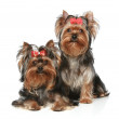 Yorkshire Terrier Puppies on a white background — Stock Photo