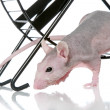 Hairless sphynx rat an exercise wheel — Stock Photo #4952587