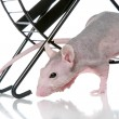 Hairless sphynx rat an exercise wheel — Stock Photo