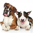 Boxer and Bull Terrier resting on a white background — Stock Photo