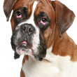 Boxer dog close-up portrait — Stock Photo