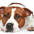 Sad Staffordshire terrier lying on a white background — Stock Photo