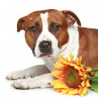 Staffordshire terrier lying with sunflower — Stock Photo