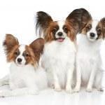 Papillon dog puppies — Stock Photo