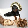 Mini dachshund in cap, portrait - Stock Photo