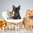 German Spitz dog with Devon Rex cats — Stock Photo