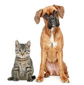 Brown cat and dog Boxer breed — Stock Photo