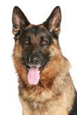 Retrato de primer plano de perro pastor alemán sobre un fondo blanco — Foto de Stock