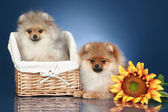 Spitz Puppies in wicker basket — Stock Photo