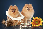 Spitz funny puppies with basket — Stock Photo