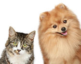 Cat and Spitz puppy — Stock Photo