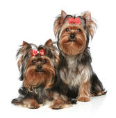 Chiots Yorkshire terrier sur fond blanc — Photo