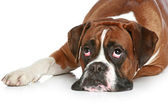 Boxer dog sad, lying on a white background — Stock Photo