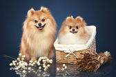 Spitz funny puppies in basket — Stock Photo