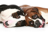 Bull Terrier and boxer resting on a white background — Stock Photo