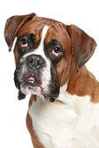 Boxer dog close-up portrait — Stock Photo