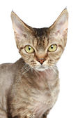 Devon Rex cat. Close-up portrait — Zdjęcie stockowe