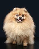 Pomeranian Spitz dog sitting — Stock Photo