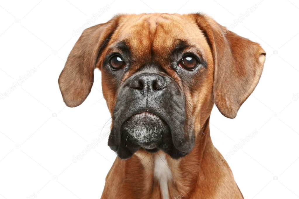 German boxer close-up portrait on a white background — Stock Photo #4952429