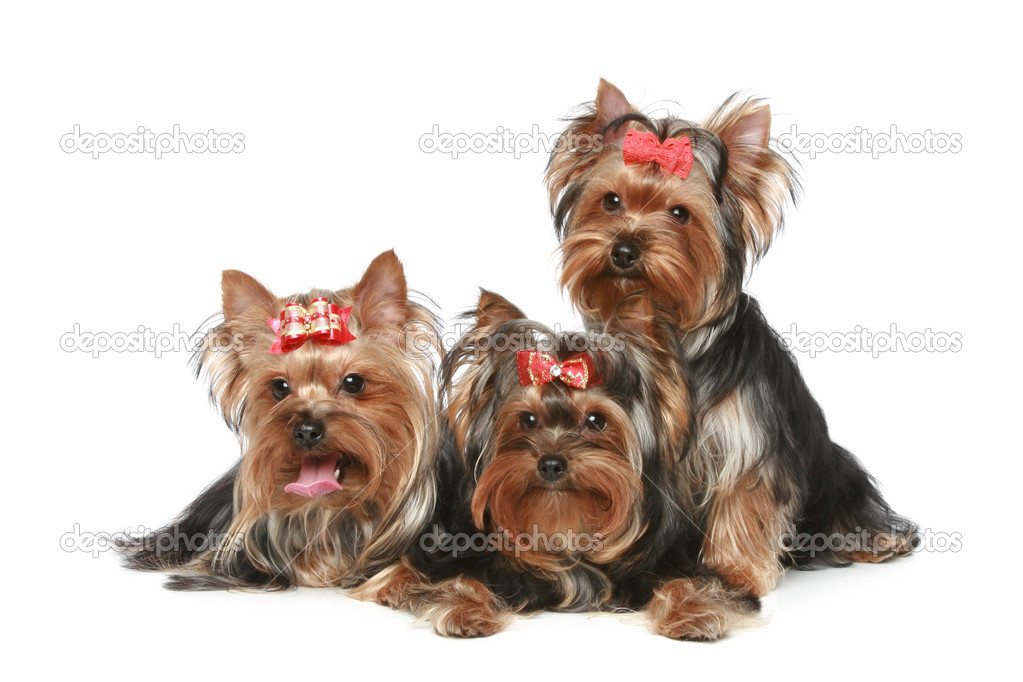 Yorkshire Terrier Puppies on a white background  Stock Photo #4952498