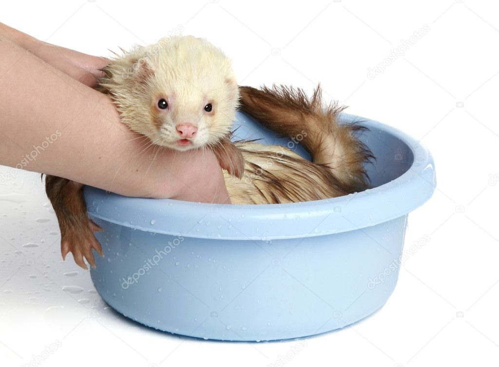 Ferret (polecat) wash in water on a white background — Stock Photo #4952501