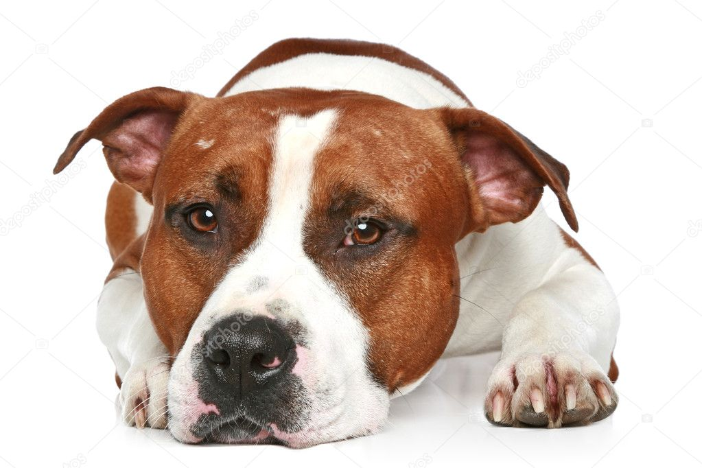 Sad Staffordshire terrier lying on a white background. Close-up portrait  Stock Photo #4952632