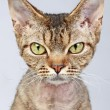 Devon Rex cat. Close-up portrait — Stock Photo #4988044