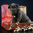 Cane corso puppy sits in suitcase - Stock Photo