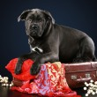 Cane corso puppy lying on suitcase — Stock Photo