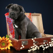 Cane corso puppy sits in suitcase — Stock Photo