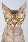 Devon rex kot portret szczegół — Zdjęcie stockowe