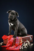 Cane corso puppy sitting on suitcase — Stock Photo