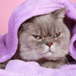 British cat covered with blanket lying on a pink background — Stock Photo