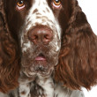 English Springer Spaniel. Close-up portrait - Stock Photo