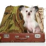 perro Crestado Chino se sienta en la vieja maleta — Foto de Stock