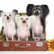 Three Chinese Crested Dogs in old suitcase - Stock Photo