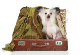 Chinese crested dog sits in old suitcase — Fotografia Stock