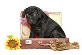 Cane corso puppy sits in a suitcase — Stock Photo
