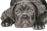 Cane corso dog puppy Close-up portrait — Stock Photo